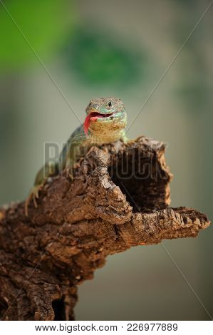 Ocellated Lizard Standing On Tree Branch With  Open Mouth And Stick Out Tongue