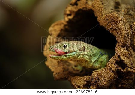 Lick Up Ocellated Lizard In Tree Branch Hole From Closeup View