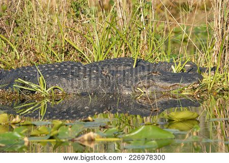 A Couple Of Large American Alligators Napping Near The Waters Edge In Everglades National Park.