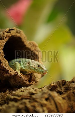Ocellated Lizard Climb Out From Tree Hole. Blood Cold Animal In His Natural Environment