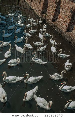Several Swans Swimming In Canal Next To An Old Brick Wall On A Sunny Day At Bruges. With Many Canals