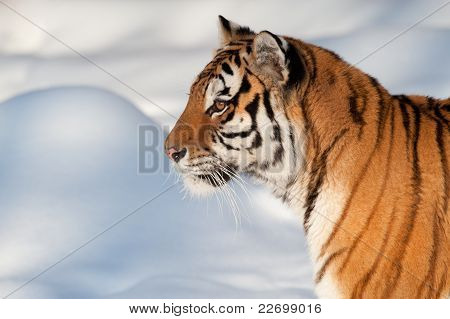 Siberian tiger - (Panthera tigris)