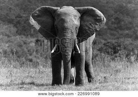 Big African Elephant In Black And White
