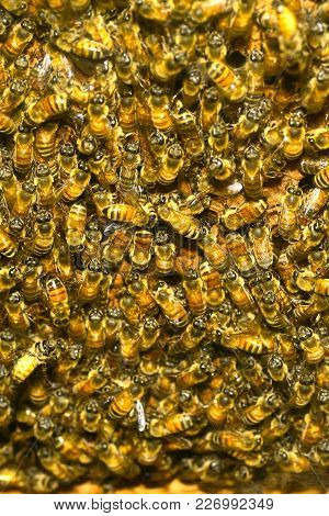 A Dense Cluster Of Swarms Of Bees In The Nest.
