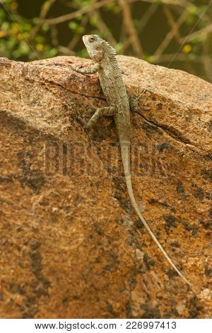 An Unidentified Lizard Sunbathing Itself In An Area Known As The Elephant Corridor, North Central Pr