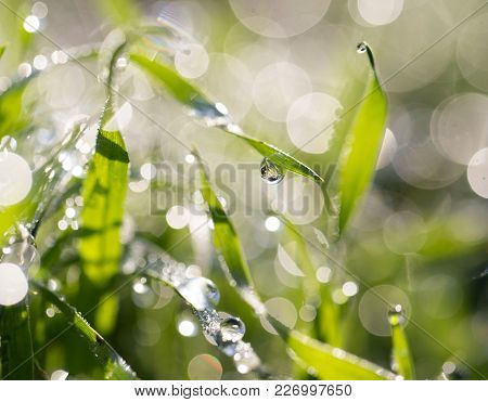 Drops Of Dew On The Grass In Nature .