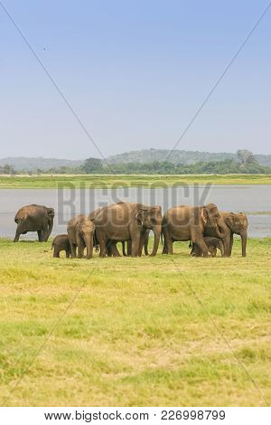 A Herd Of Sri Lankan Elephant (the Largest Of Four Subspecies Of The Asian Elephant) Next To A Lake
