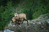 chamois goat  feeding her youngster ( Rupicapra ); wild animals in natural habitat, Ceahlau mountains, Romania poster