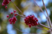 A bunch of red and shiny Rowan berry at a small branch. poster