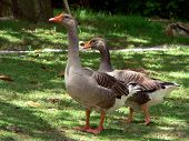 Geese walking on grass field on shadowy area. poster