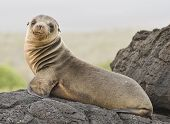 Young Sea Lion on Volcanic Rocks at Galapagos Islands poster