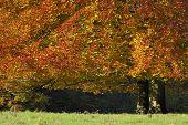 Autumn Beech Tree with grazing line - Fagus sylvatica poster