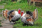 Two male turkey on green village courtyard poster