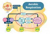 Aerobic Respiration bio anatomical vector illustration diagram, educational medical scheme. poster