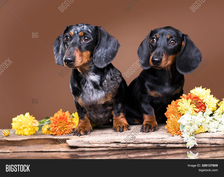 Dachshund Puppy Black Image Photo Free Trial Bigstock
