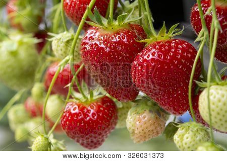 Fresh Tasty Ripe  Red And Unripe Green Strawberries Growing On Strawberry Farm