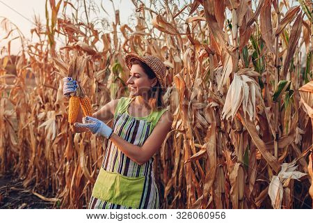 Corn Crop. Young Woman Farmer Checking And Picking Corn Harvest. Worker Holding Autumn Corncobs. Gar
