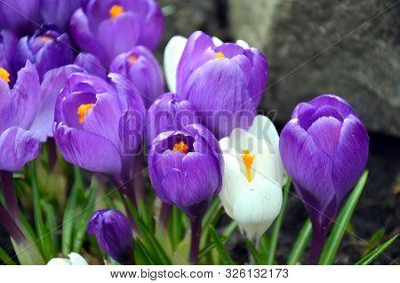 Early Spring Flowering Of Crocus In Spring