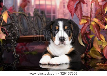 Entlebucher Mountain Dog puppy in autumn background