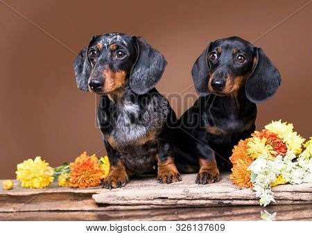 dachshund puppy black  tan color and mother dog
