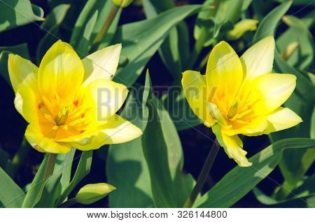 Blooming Of The Yellow Tulips In Spring Close-up