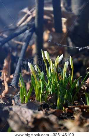 Many Snowdrops In The Spring Forest Close-up
