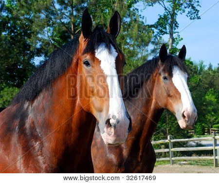 Curious Pair of Clydesdales