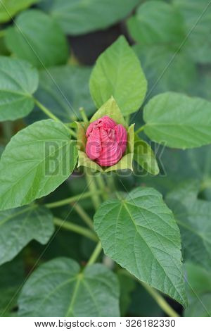 Hardy Hibiscus Luna Rose Flower Bud - Latin Name - Hibiscus Moscheutos Luna Rose