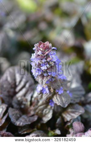 Bugle Braunherz Flower - Latin Name - Ajuga Reptans Braunherz