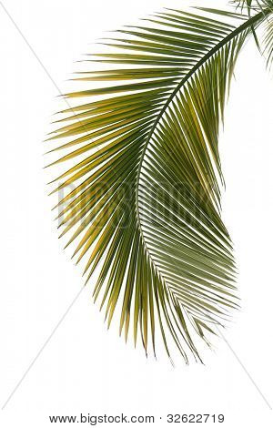 Leaf of palm tree isolated on the white background