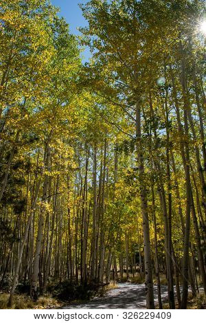 Aspen Trees Turning To Gold In Early Fall