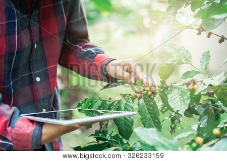 Young Asian Modern Farmer Using Digital Tablet And Examining Coffee Beans At Coffee Field Plantation