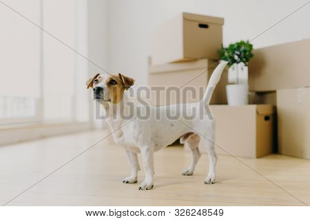 Photo Of Jack Russel Terrier Dog Stands In Empty Room Against Stacks Of Cardboard Boxes, Looks Into