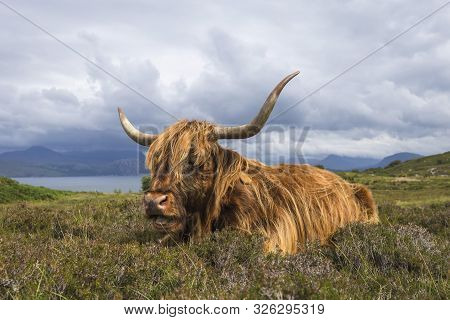 A Scottish Highland Cow Covered Landscape In The Highlands Of Scotland
