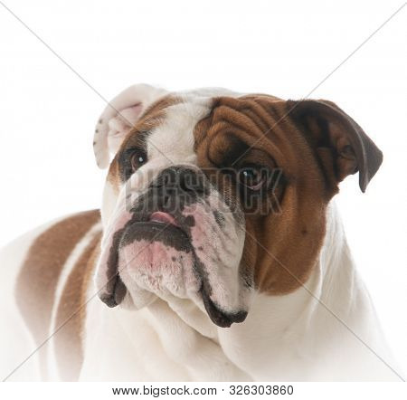 young male English bulldog portrait isolated on white background