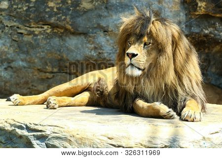 Large, Powerful Male Lion Sits On A Tall Boulder At Sunset. He Watches The Approaching Prey.