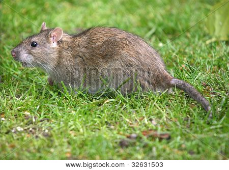 Common brown Rat.