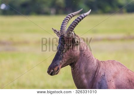 Antelope Roan. Beautiful proud herbivore. The famous Masai Mara Reserve in Kenya. Africa. The concept of ecological, exotic and photo tourism