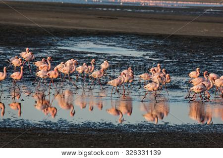 Sunsut. Africa. Atlantic coast of Namibia. Flock of magnificent white-pink flamingos feed themselves in coastal silt. Concept of eco-friendly, active, photo tourism and birdwatching poster