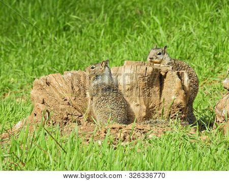 Ground Squirrels, Sierra Nevada Mountains, Kings Canyon, Potwisha Campground, California.