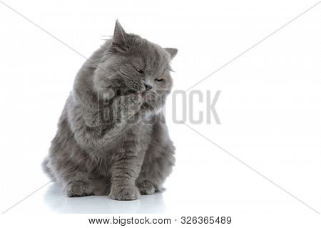 little british longhair cat with gray fur sitting and licking her paw against white studio background poster