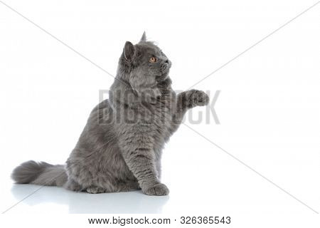 side view of an adorable british longhair cat with gray fur sitting and playing with one paw up happy against white studio background poster