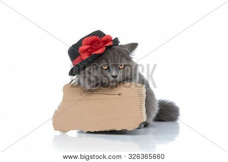 homeless british longhair cat with gray fur,board and hat lying down bored against white studio background poster
