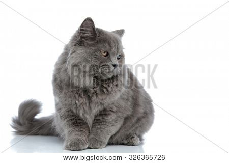 cute british longhair cat with gray fur lying down and looking aside sad against gray studio background