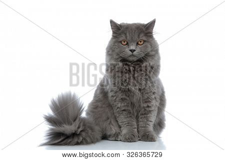 cute british longhair cat with gray fur sitting and staring at camera calm against white studio background