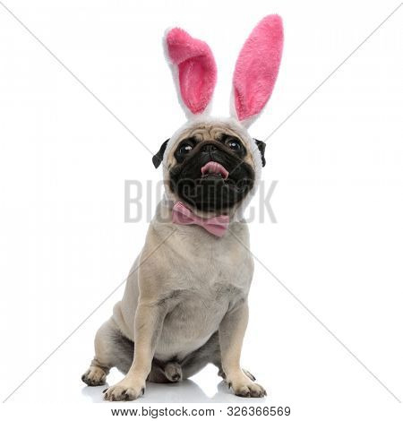 Lovely pug wearing pink bunny ears and bowtie while panting and sitting on white studio background