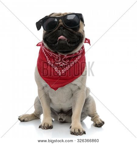 Happy pug panting while wearing sunglasses and red bandana, sitting and panting on white studio background