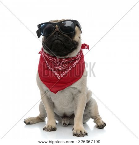 Tough pug looking away while wearing red bandana and sunglasses, sitting on white studio background