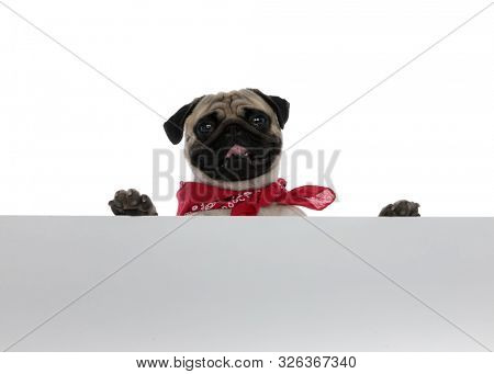 Happy pug wearing bandana and holding an empty sign while panting and smiling on white studio background