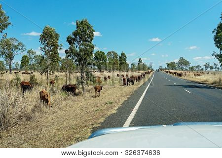 Cattle Droving On An Australian Country Highway As Seen Through A Moving Car Windscreen